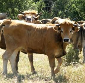 vacas mirandesas