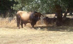 Concurso Concelhio de Bovinos de Raça Mirandesa promete regressar a Gralhós