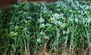 Idoso detido por cultivo de cannabis em Gralhós