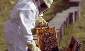 Praga de vespas asiáticas ameaça setor apícola