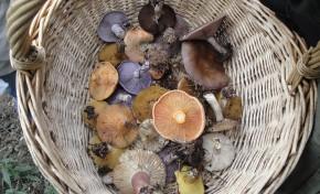 Cogumelos Silvestres estão subaproveitados