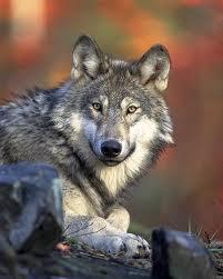 Lobos atacam rebanho em Mogadouro