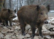 DGAV proibe venda de carne de javalis caçados em Trás-os-Montes