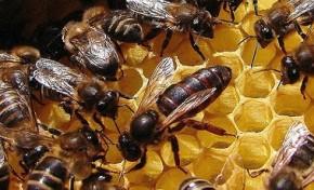 Abelhas fazem bem à agricultura, e devia pagar-se por isso