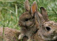 Projeto tenta encontrar vacina para diminuir morte do coelho-bravo