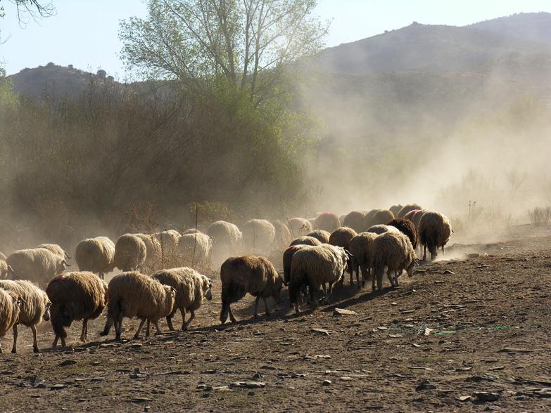 Já apareceram as ovelhas e os cordeiros do pastor de Mascarenhas