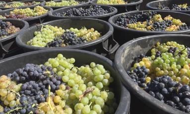 Mais e melhores uvas nas vindimas deste ano