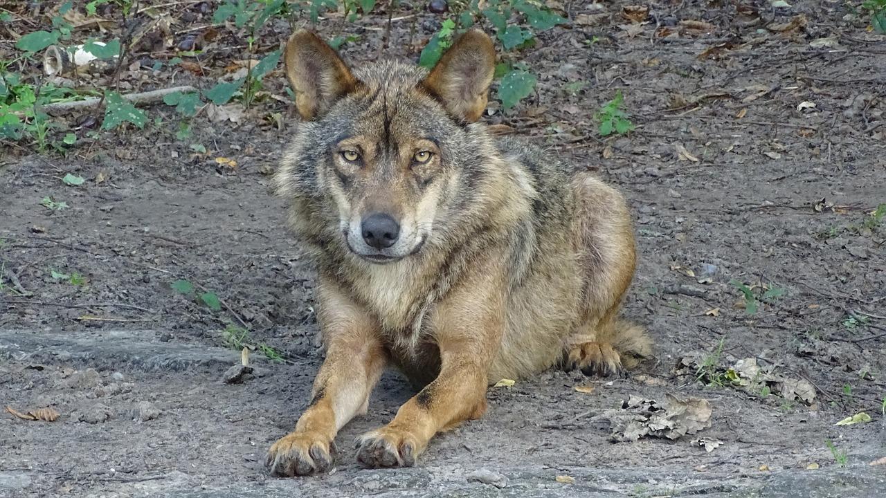 Lobo Ibérico vai ser observado em Vinhais
