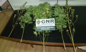 Detido em Macedo de Cavaleiros por cultivo de cannabis