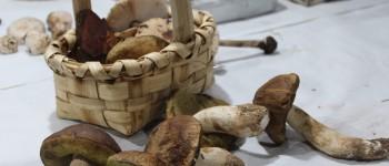 Falta de legislação continua a ser problema para os cogumelos em Portugal