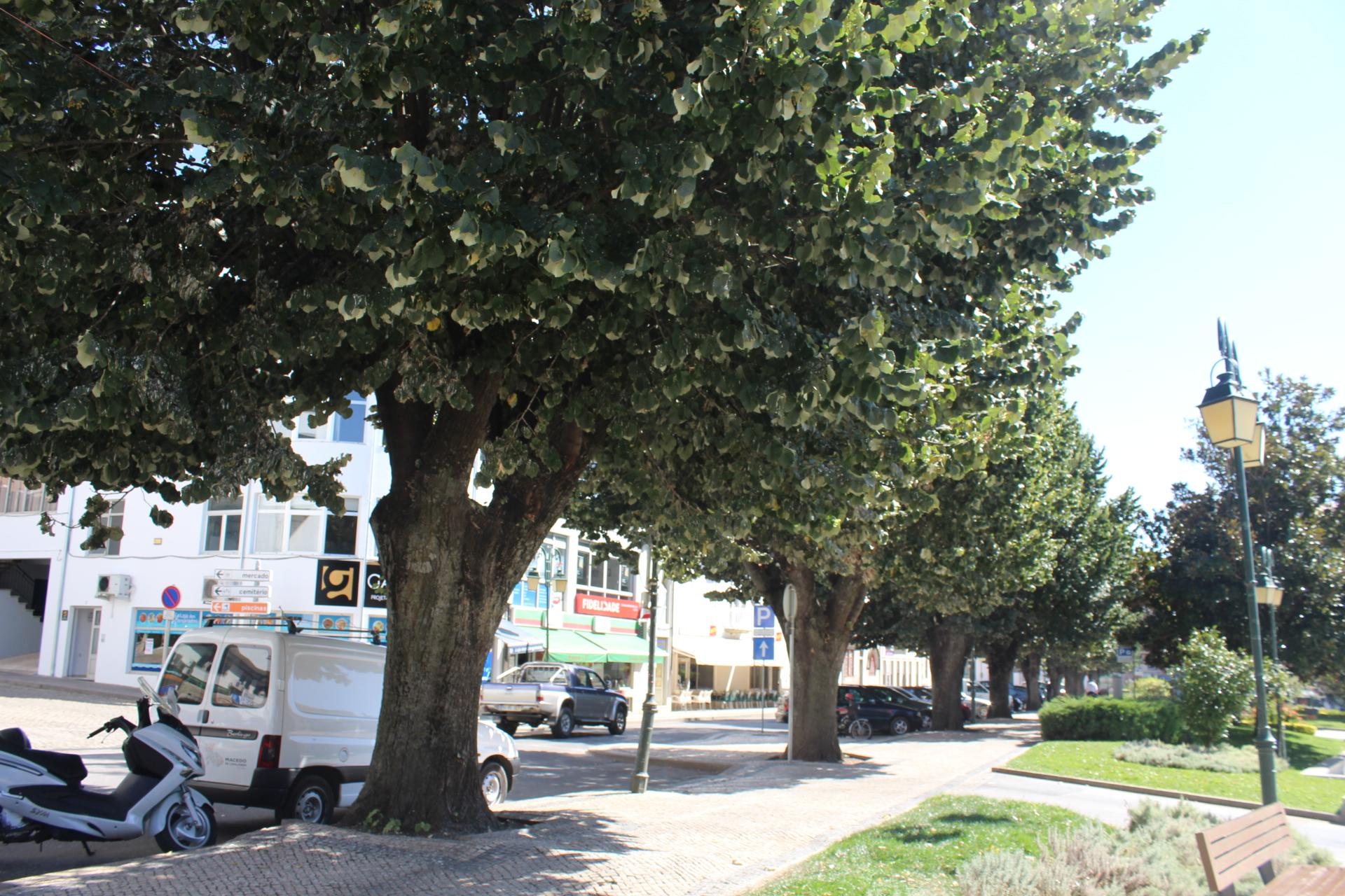 Bando de pássaros nas árvores do Jardim 1º de Maio em Macedo preocupa população