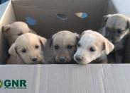 GNR resgata cães bebés abandonados na berma da estrada em Torre de Moncorvo