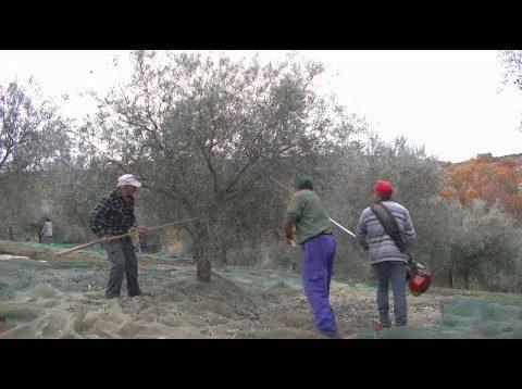 ONDA LIVRE TV – Olimontes, há 20 anos dedicado ao azeite da região