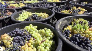 ONDA LIVRE TV – Mais e melhores uvas em 2017