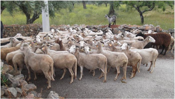 Cães voltam a atacar ovelhas em Salselas