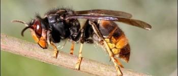 Vespa velutina e praga varrose preocupam setor apícola na região