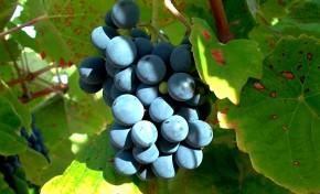 Vão haver apoios para os cerca de 1000 hectares de vinha destruídos com o granizo em Mogadouro