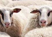 """""""Open2preserve"""" é o projeto que indica o pastoreio dos terrenos com ovelhas como forma de prevenir incêndios"""