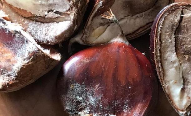 Nova doença ameaça castanha em Trás-os-Montes