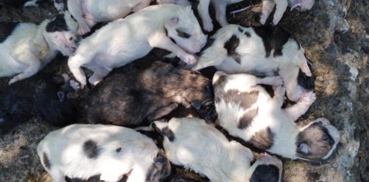 20 crias de cão do gado encontradas ontem mortas em Gimonde (Bragança)