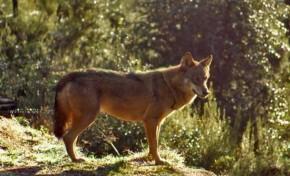 Está a ser investigada a morte de dois lobos em Bragança e em Montalegre